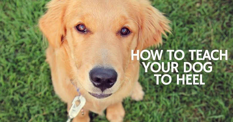 Teaching your dog to heel - 13 tips