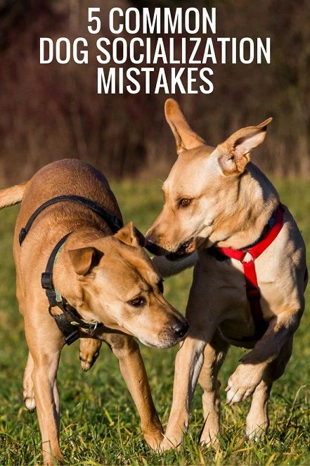 5 common dog socialization mistakes and how to avoid them #dogtraining #mutts #labmix #puppytraining