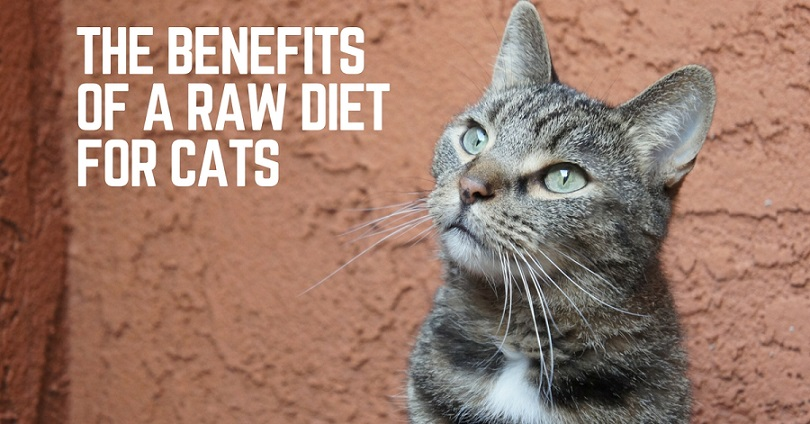 Benefits of a raw diet for cats