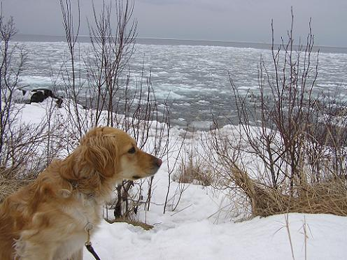 Elsie the golden retriever outside in the snow by Lake Superior