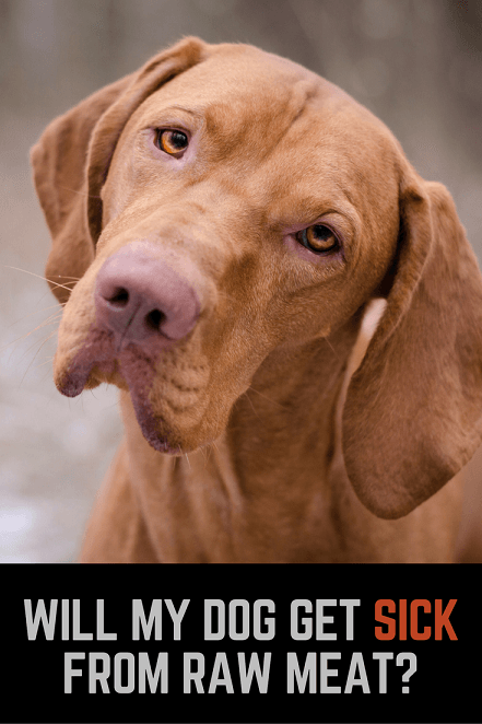 Vizsla picture: Will my dog get sick from raw hamburger?