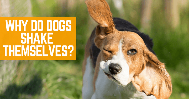 Why do dogs shake themselves