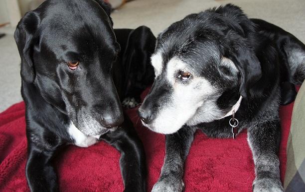 Senior dogs Ace and Dora