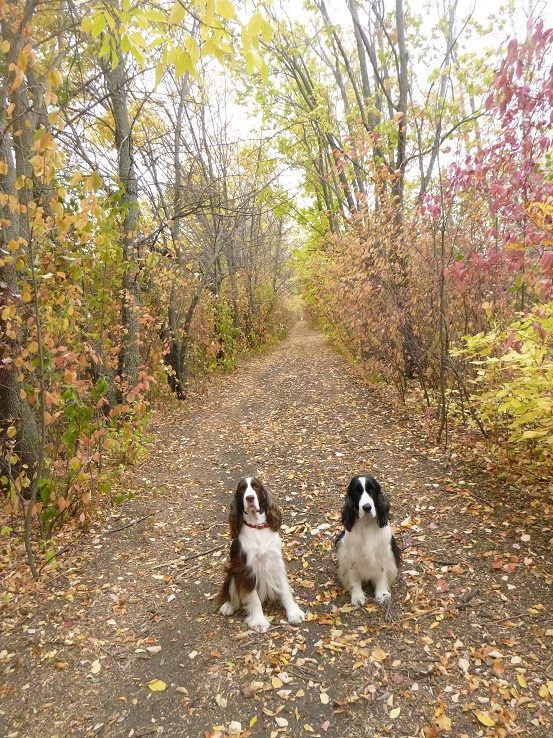 Two springer spaniels in the fall