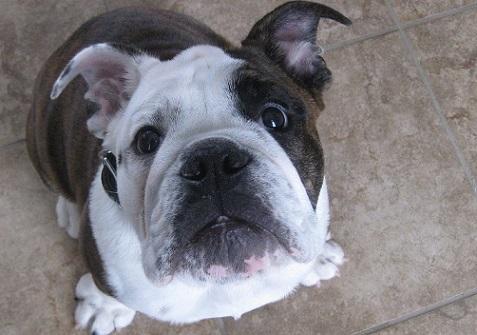 Zeus the English bulldog