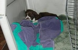 Springer spaniel puppy sleeping in her crate