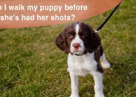 Should You Walk Your Puppy Before He's Had His Vaccinations?