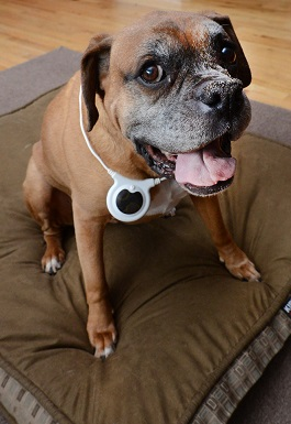 Assisi Loop review - Here is a Boxer dog wearing the Assisi Loop