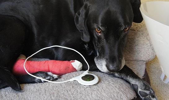Dog Injured Nail Bed