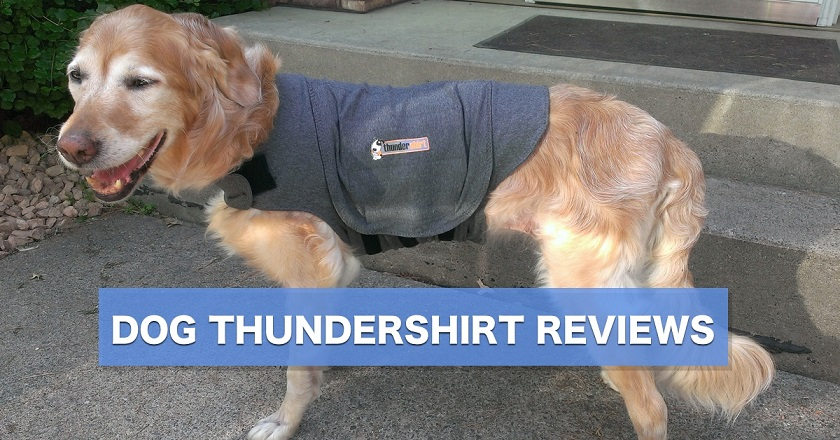 Dog Thundershirt reviews - Elsie the golden tries wearing the dog Thundershirt