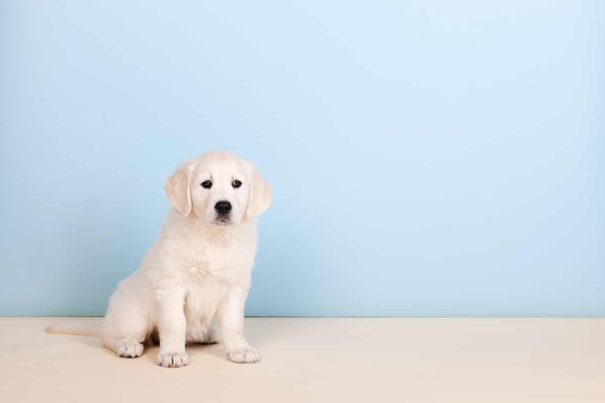 How To Train My Dog To Use A Puppy Pad