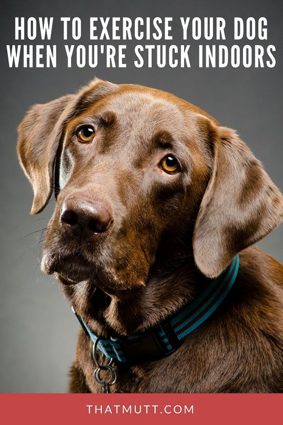How to exercise your dog when you're stuck indoors - dog exercise ideas #dogtraining #labradors #chocolatelabs #labradors