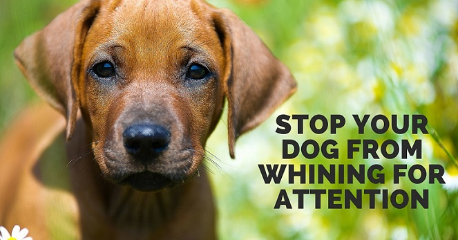 How to stop a dog from whining for attention