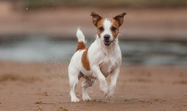 Jack Russell terrier dog for running