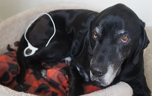 Assisi Loop and managing pain in dogs