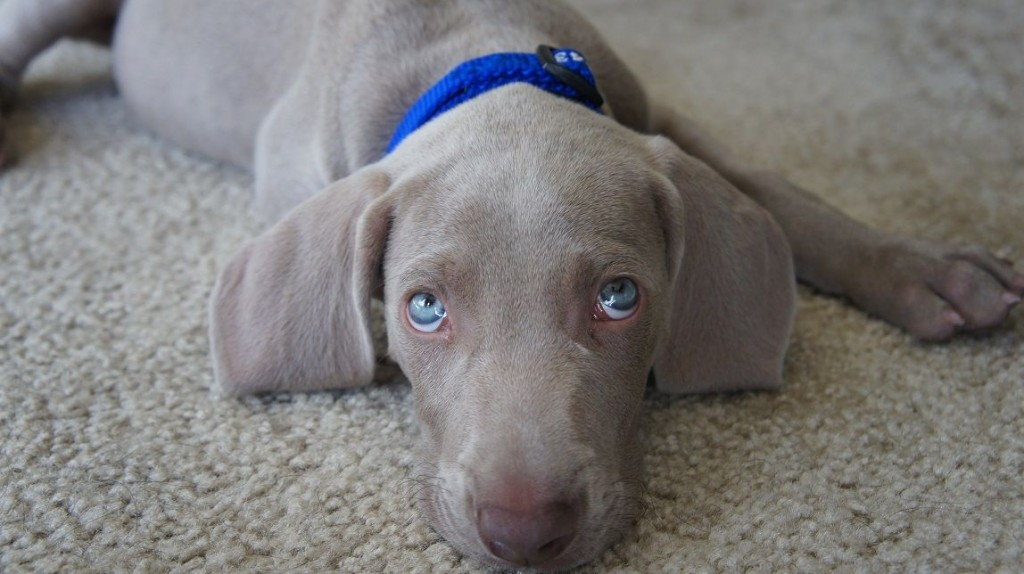 How Long Do Puppies Cry At Night How To Stop A Puppy S Crying