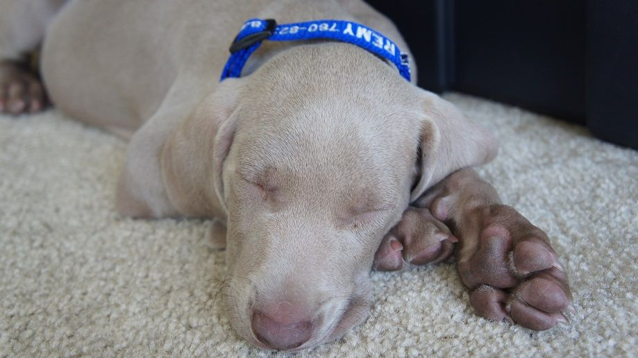 Sleeping Weimaraner puppy