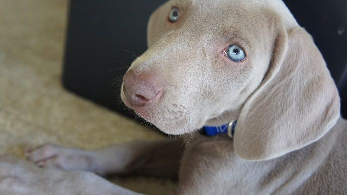 Puppy Blues – When You Regret Getting A Dog or Puppy