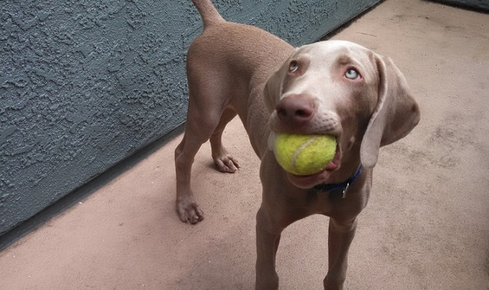 Weimaraner puppy Remy with his tennis ball - How far can I walk my puppy at 12 weeks?