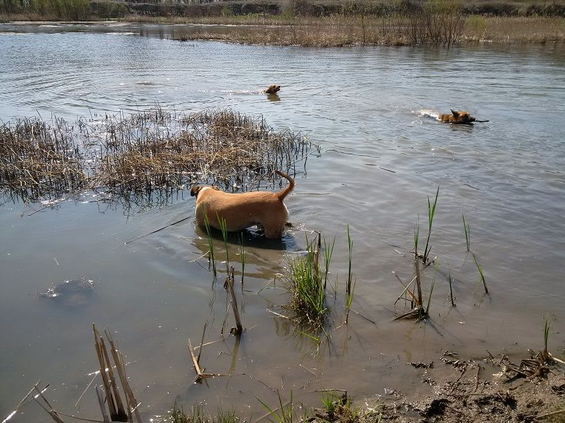 Dogs wading
