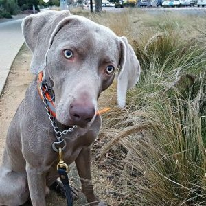 Training Issues With My Weimaraner Dog