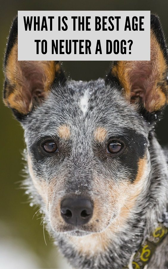 Best age to neuter a dog