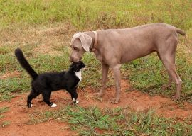 Are Weimaraners Good With Cats?