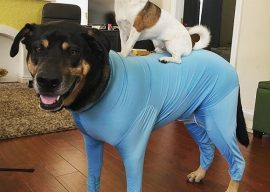 Shed Defender Reviews, Dog Onesie to Control Shedding