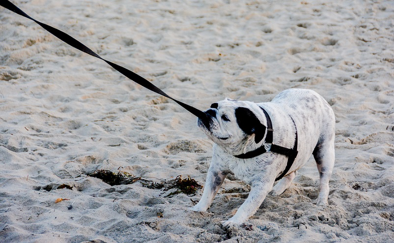 What to Do if Your Dog Refuses to Walk