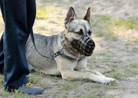 How to Get Your Dog Used to a Muzzle