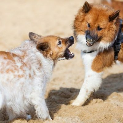 Aggression Between Dogs in the Same Household – Sibling Rivalry