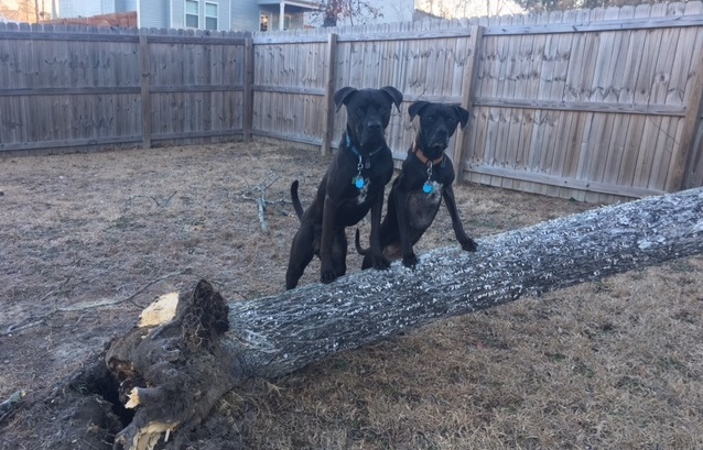 Buzz and Missy, two raw fed boxer mixes