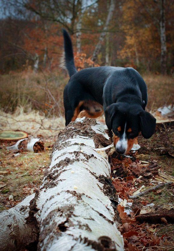 Alfie the Entlebucher mountain dog doing nosework