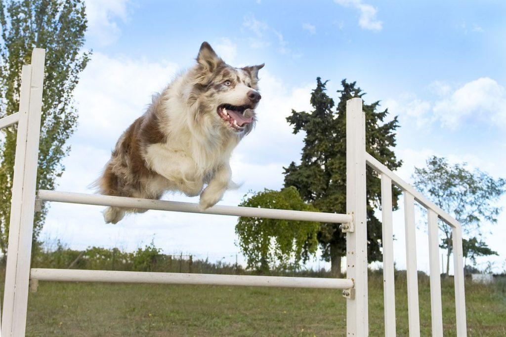 Dog agility training - dog doing a jump