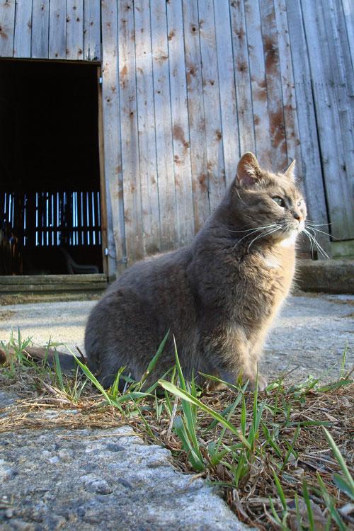Barn cat Ralph
