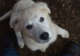 Livestock Guardian Dogs—Training and Care