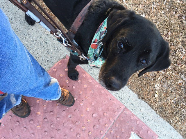 Guide dog information - Tom the guide dog stops at a curb with a bump strip and his handler Katrin moves her left foot forward to investigate