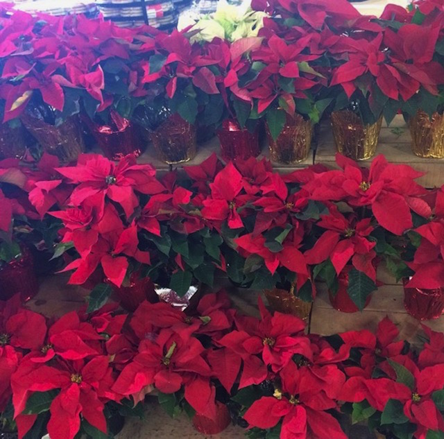 Poinsettias are toxic to dogs
