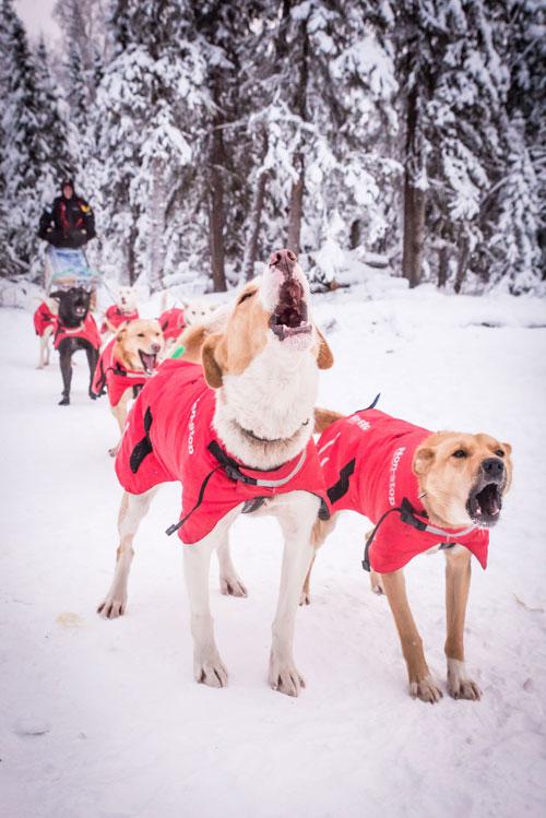 Alaskan Husky sled dogs barking