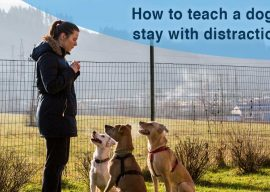 How to Teach A Dog to Stay With Distractions
