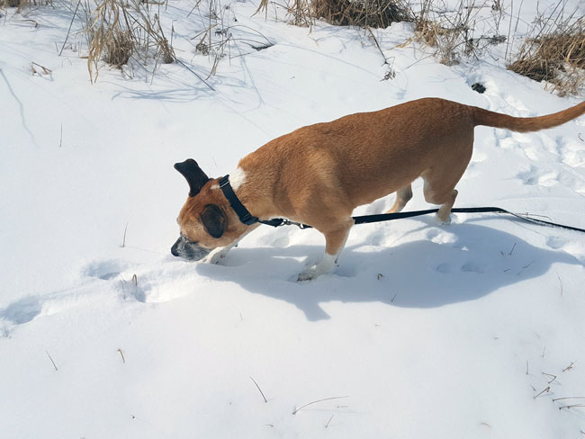 Dog sniffing coyote tracks in the snow