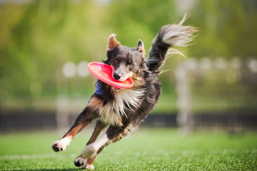Best dogs for running - border collie