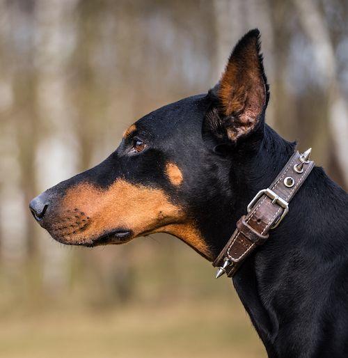 Best dogs for running - doberman