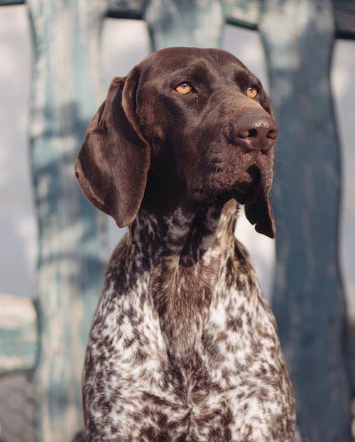 German shorthair pointer - best breeds for running