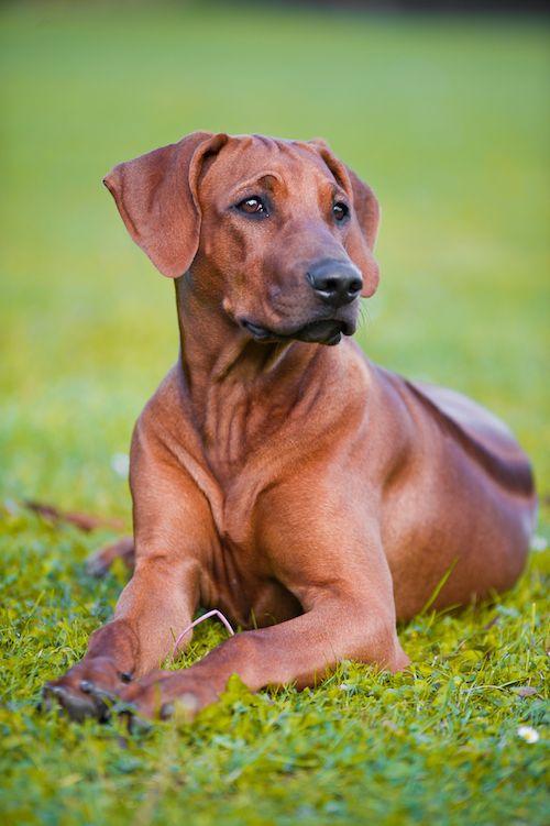 Rhodesian ridgeback dog as running buddy