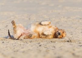 """How to Teach a Dog to Play Dead or """"Bang!"""""""