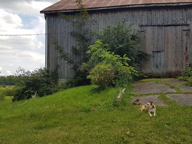Baxter and Ralph in front of the barn