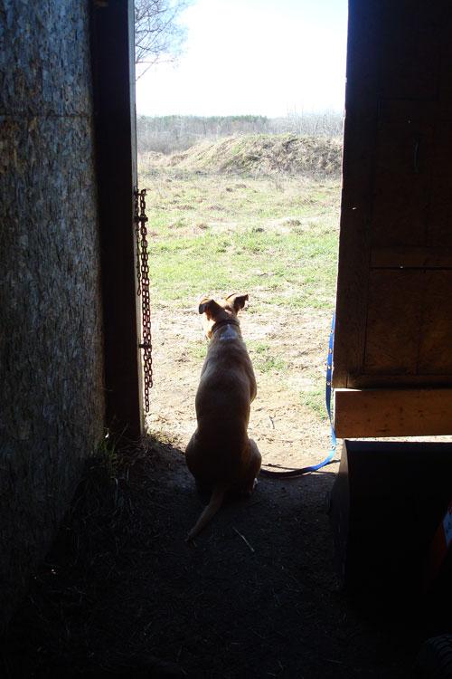 Baxter the mixed breed farm dog