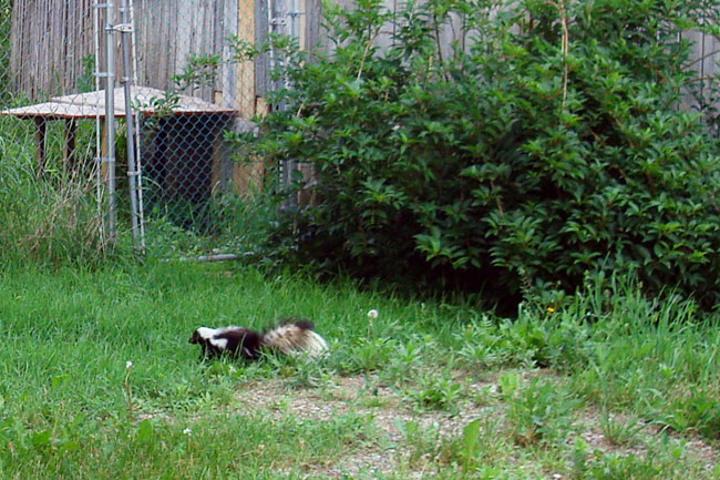 What to do if your dog is sprayed by a skunk