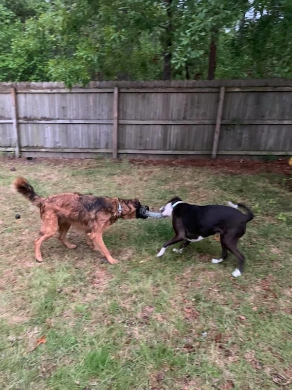 Tug of war with dogs